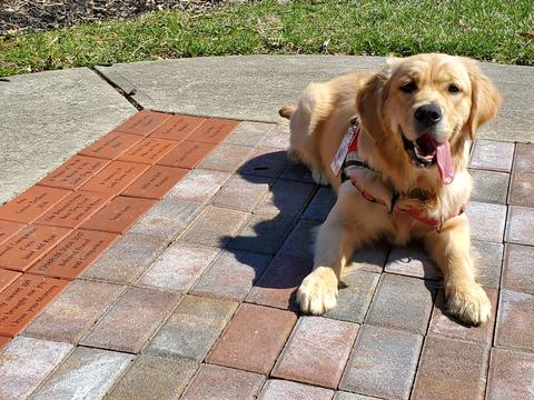 A golden retriever looking happy with his tongue out wearing a service dog in training vest lays next to bricks with custom inscriptions.
